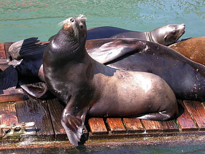 Photograph - Sea Lions Sunning by Yvette Pichette