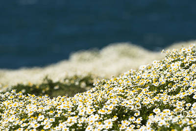 Photograph - Sea Mayweed And The Sea by Anne Gilbert