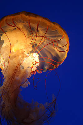 Photograph - Sea Nettles V 2 by Donna Corless