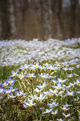 Spring Flowers Photograph - Sea Of Bluets by Bill Wakeley