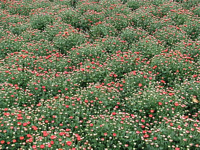 Photograph - Sea Of Green And Red by Teresa Cox
