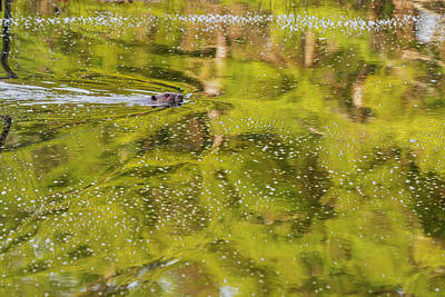 Beaver Photograph - Sea Of Green by Bill Wakeley