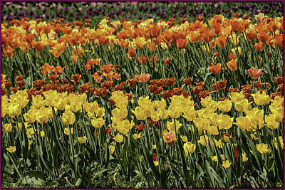 Photograph - Sea Of Tulips by LeeAnn McLaneGoetz McLaneGoetzStudioLLCcom