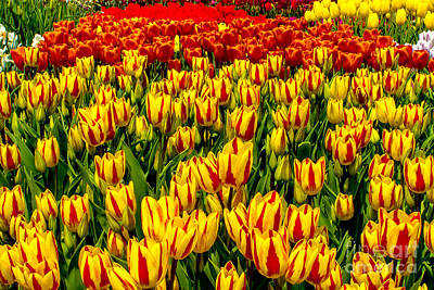 Photograph - Sea Of Tulips by Nick Zelinsky
