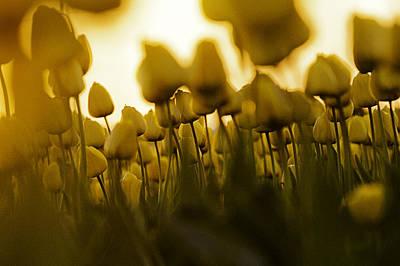 Tulip Photograph - Sea Of Yellow - Tulips In Washington by Paul Conrad