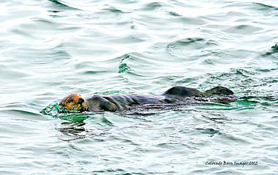 Photograph - Sea Otter In Northern Cali by Rebecca Adams