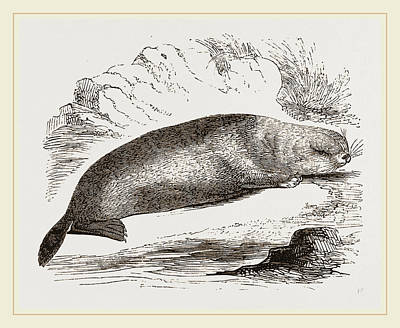 Otter Drawing - Sea-otter by Litz Collection