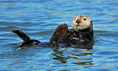 Photograph - Sea Otter Primping by Susan Wiedmann