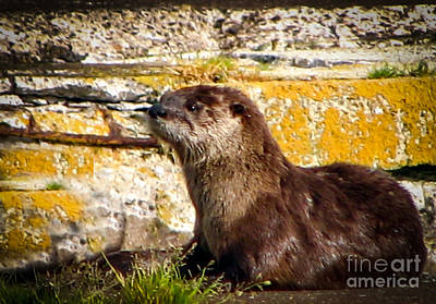 Sea Otter Art Print by Robert Bales