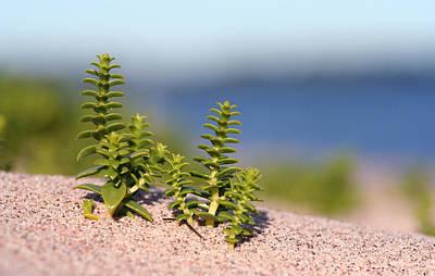 Photograph - Sea Sandwort by Dreamland Media