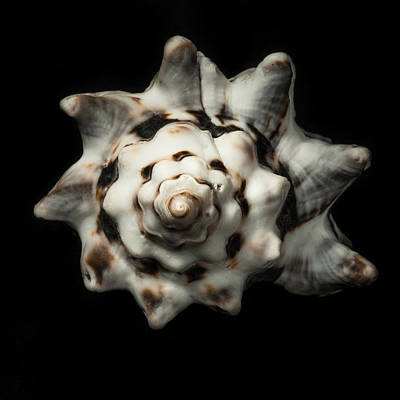 Photograph - Sea Shell #1 by Marinus Ortelee