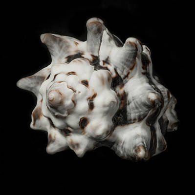 Photograph - Sea Shell #2 by Marinus Ortelee