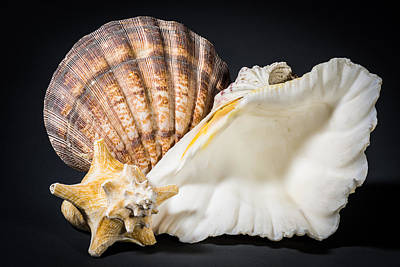 Still Life Photograph - Sea Shell Trio by Tod and Cynthia Grubbs