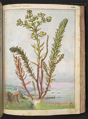 Spurge Photograph - Sea Spurge (euphorbia Paralias) by British Library