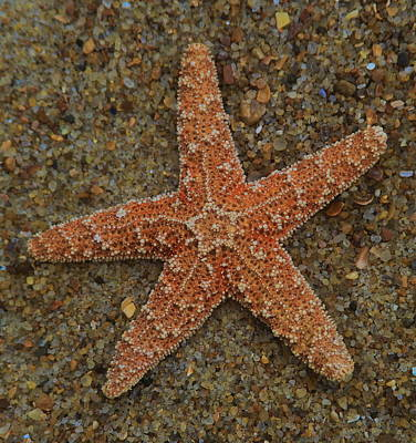 Sea Star On Sand 2 Print by Cathy Lindsey
