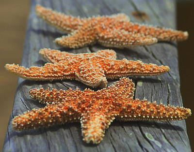 Photograph - Sea Star Trio 2  by Cathy Lindsey