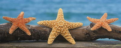 Seastar Photograph - Sea Star Trio On Driftwood by Cathy Lindsey