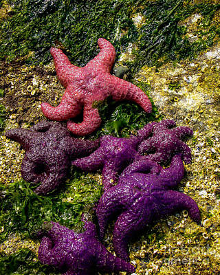 Purple Sea Stars Wall Art - Photograph - Sea Stars by Robert Bales