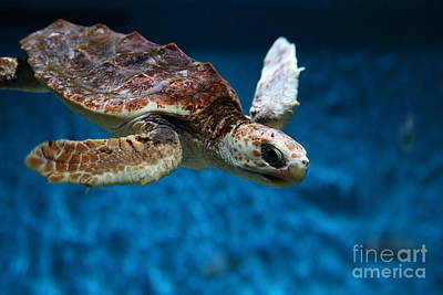 Monterey Bay Aquarium Photograph - Sea Turtle 5d25079 by Wingsdomain Art and Photography