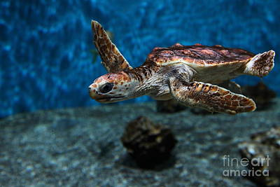 Monterey Bay Aquarium Photograph - Sea Turtle 5d25083 by Wingsdomain Art and Photography