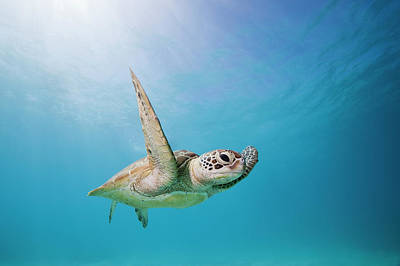 Photograph - Sea Turtle by Andrew Watson