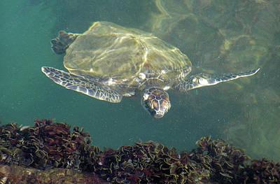 Photograph - Sea Turtle Cabbage by Adam Johnson