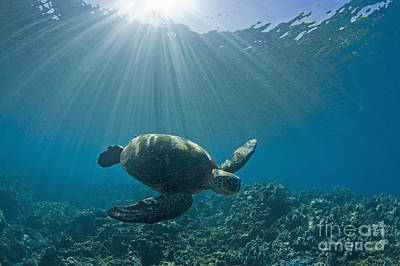 Photograph - Sea Turtle by David Olsen