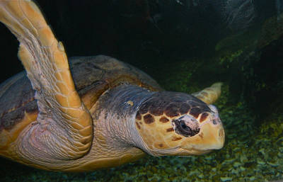 Photograph - Sea Turtle by Greg Vizzi