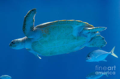 Photograph - Sea Turtle by Louise Magno