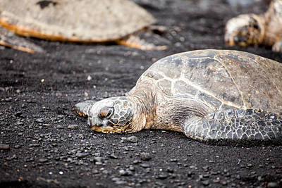 Photograph - Sea Turtle On Black Sand by Ed Cilley