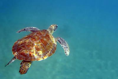 Tortuga Beach Photograph - Sea Turtle  by Scott Walter