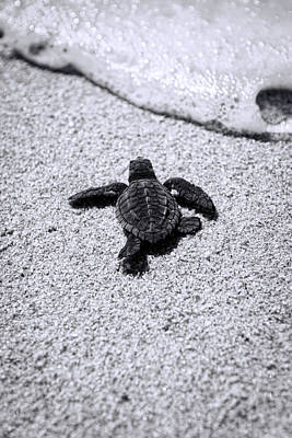 Beach Royalty-Free and Rights-Managed Images - Sea Turtle by Sebastian Musial