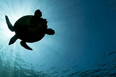 Photograph - Sea Turtle Silhouette by J Gregory Sherman