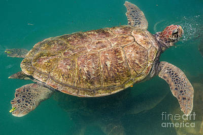Photograph - Sea Turtle by Suzanne Luft