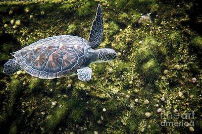 Photograph - Sea Turtle Swimming Along Edge by Dan Friend