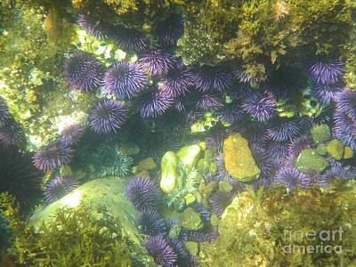 Photograph - Sea Urchin Colony by Adam Jewell