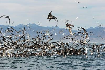 Boobies Photograph - Seabirds Feeding by Christopher Swann