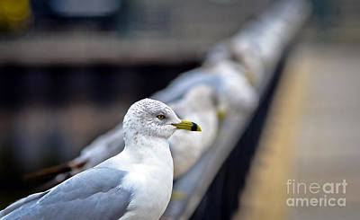 Animals Royalty-Free and Rights-Managed Images - Seagul in line by PatriZio M Busnel