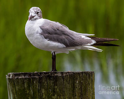 Photograph - Seagull And The Marsh Post I by Gene Berkenbile