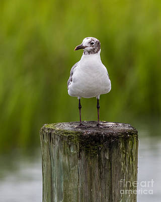 Photograph - Seagull And The Marsh Post V by Gene Berkenbile