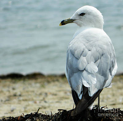 Photograph - Seagull by Andrea Anderegg