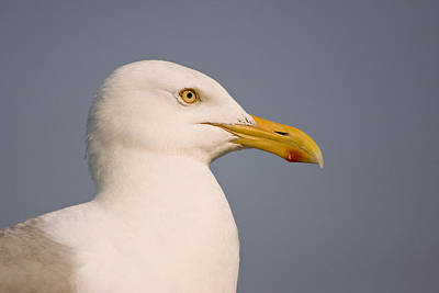 Photograph - Seagull At Chatham Pier by Ben Shields