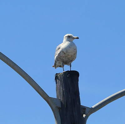 Carnivore Photograph - Seagull At Oregon Inlet 4 by Cathy Lindsey