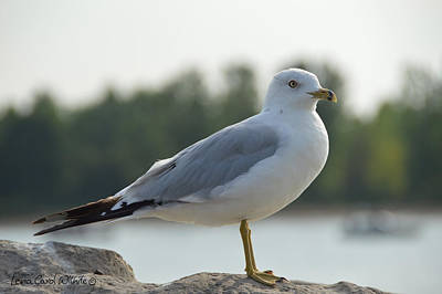 Photograph - Seagull At Rest by Lena Wilhite