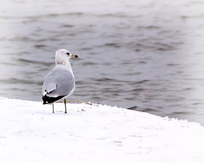 Seagull At The Lake In Winter Art Print by Elizabeth Budd