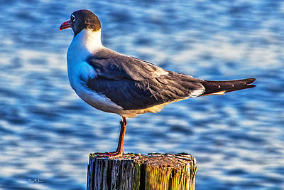 Photograph - Coastal - Bird - Water Fowl - Seagull  by Barry Jones