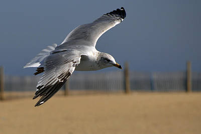 Photograph - Seagull Cleared For Beach Landing by Bill Swartwout Fine Art Photography