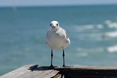 Photograph - Seagull by Denise Mazzocco