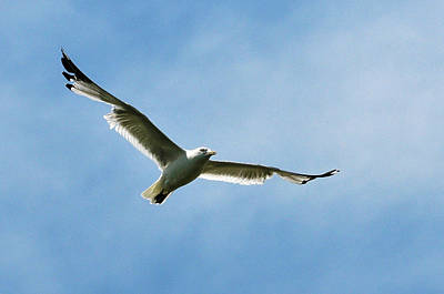 Photograph - Seagull by Dragan Kudjerski