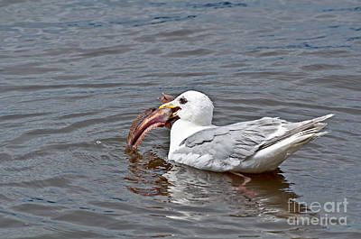 Photograph - Seagull Eating Huge Fish In Water Art Prints by Valerie Garner